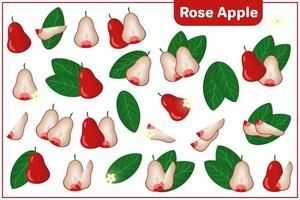 Set of vector cartoon illustrations with Rose Apple exotic fruits, flowers and leaves isolated on white background