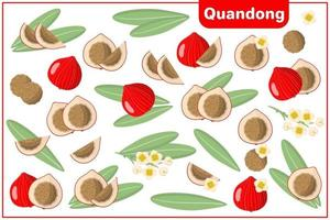 Set of vector cartoon illustrations with Quandong exotic fruits, flowers and leaves isolated on white background