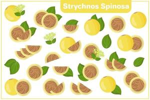 Set of vector cartoon illustrations with Strychnos Spinosa exotic fruits, flowers, leaves isolated on white background