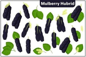 Set of vector cartoon illustrations with Mulberry Hybrid exotic fruits, flowers and leaves isolated on white background