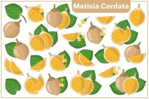 Set of vector cartoon illustrations with Matisia Cordata exotic fruits, flowers and leaves isolated on white background