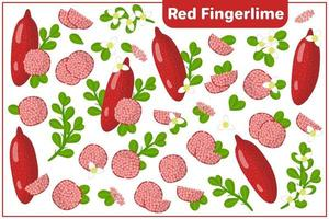 Set of vector cartoon illustrations with Red Fingerlime exotic fruits, flowers and leaves isolated on white background