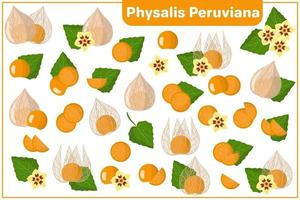Set of vector cartoon illustrations with Physalis Peruviana exotic fruits and flowers isolated on white background