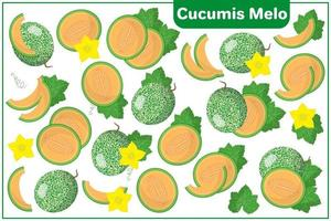 Set of vector cartoon illustrations with Cucumis melo exotic fruits, flowers and leaves isolated on white background