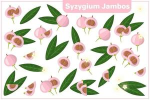 Set of vector cartoon illustrations with Syzygium Jambos exotic fruits, flowers and leaves isolated on white background