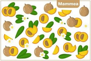 Set of vector cartoon illustrations with Mammea exotic fruits, flowers and leaves isolated on white background