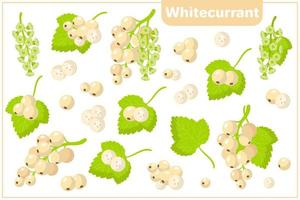 Set of vector cartoon illustrations with Whitecurrant exotic fruits, flowers and leaves isolated on white background
