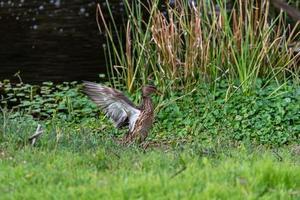 pato gris marrón extendió sus alas cerca del estanque foto
