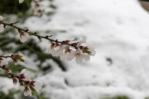 flores de almendro con fondo de nieve foto