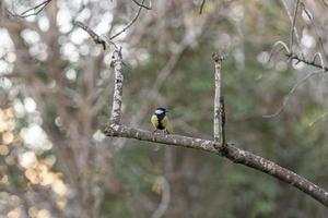 Titmouse on the branch photo