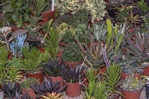 flores suculentas en macetas de diferentes tipos. foto