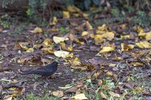 Black-colored bird in its natural habitat on green spring grass photo