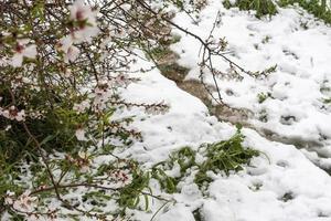 flores de almendro sobre fondo de nieve foto