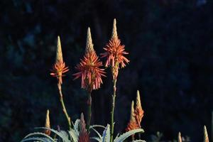wild aloe plant with blooming flowers photo