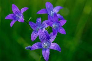 Cerca de campanillas púrpuras en la luz del sol foto