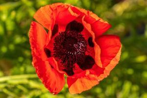 Cerca de una flor de amapola naranja vibrante en la luz del sol foto