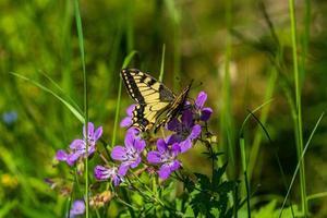 Mariposa de cola de golondrina sentada sobre flores púrpuras en la luz del sol foto