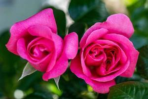 Primer plano detallado de dos rosas rosadas vibrantes foto