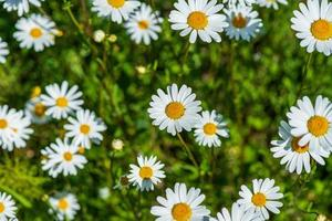 Cluster of marguerite flowers in bright sunlight photo