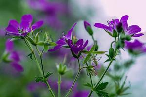 Close up of a group of purple flowers photo
