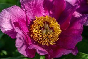 Cerca de una flor de peonía china rosa foto