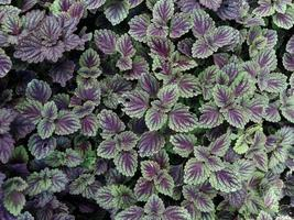 Purple fern leaf plant for background photo