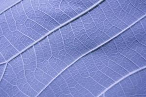 Leaf veins for background photo