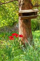 Blooming red tulips grow in a group on a tree trunk photo
