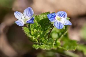 Vista detallada de las flores de la planta Veronica Speedwell foto