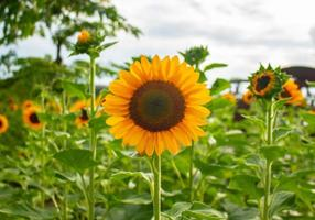 Sunflowers blooming in the garden photo