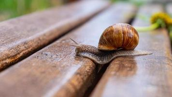 Snail crawling on a wet bench photo