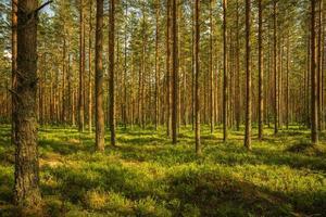 bosque de pinos en verano foto