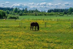 Brown horse grazing photo