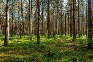 exuberante bosque de pinos verdes en la luz del sol foto