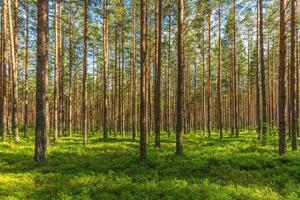 exuberante bosque de pinos verdes foto