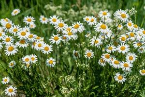 Cluster of marguerite flowers growing in a field in sunlight photo