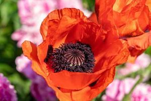 Cerca de una flor de amapola naranja vibrante foto