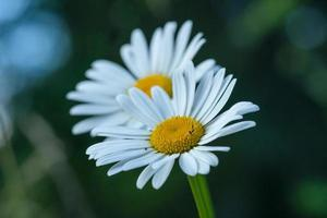 Close up of two marguerite flowers photo