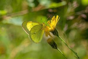 mariposa amarilla sobre una flor amarilla foto