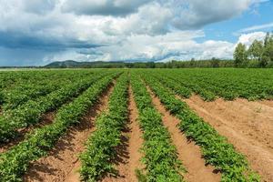 gran campo de patatas foto