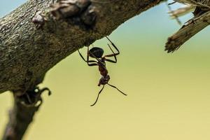 Hormiga de madera colgando boca abajo de una rama foto