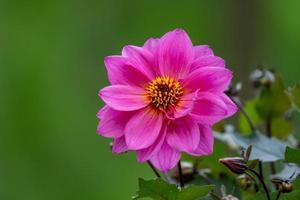 flor de dalia rosa sobre fondo verde foto