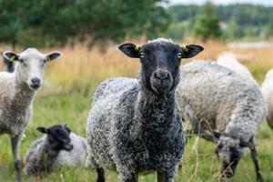 Herd of sheep photo