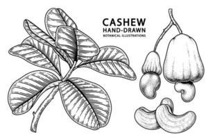 Set of cashew fruit hand drawn elements botanical illustration vector