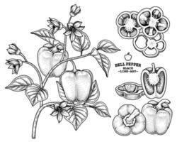 Set of bell pepper hand drawn elements botanical illustration vector