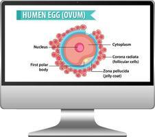 Human egg cell on computer desktop vector