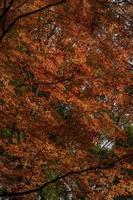 Autumn tree with red leaves photo