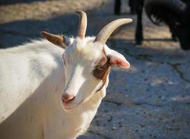 Retrato de cabra blanca sobre fondo borroso foto