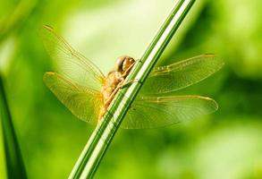 Portrait of a dragonfly on a green plant background photo