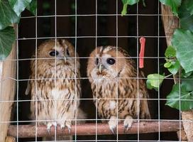 Portrait of two owls in a metal cage photo